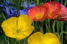 Asian Poppies, Iris   Flickr - Photo Sharing!