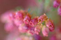 """Flor de brezo: """"soledad"""""""