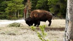 Bison Adorably Plays with a Branch Bison, Entertainment Sites, Yellowstone Park, Plays, Usa Info, National Parks, Wyoming, Entrance, Videos