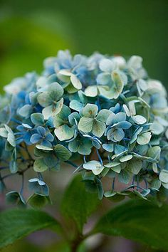 Hydrangea macrophylla 'Mousseline' just beginning its autumn fade. By Clive Nichols.
