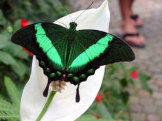Swallowin' emeralds: Emerald Swallowtail, Papilio palinurus