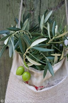 .Olive leaves in Liguria, Italy
