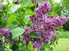 Mit seiner farbenfrohen Blüte fällt der Flieder in jedem Garten auf. Wir zeigen, wann und wie er am besten geschnitten wird, damit er in Form bleibt.
