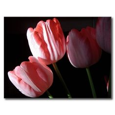Pink Tulips Postcard For Sale $1.03  #pink tulips #pink flowers #postcards #photography