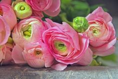 Ranunculus. Love in pink. plant in spring. blooms late spring & summer. Note: toxic to animals.