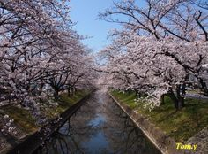 Cherry Blossom in Japan 2013