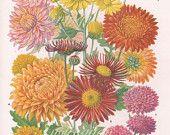 Vintage Botanical Print Antique CHRYSANTHEMUMS plant print botanical print bookplate art print wild flowers plants plant wall print wall art