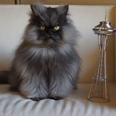 Colonel Meow. I LOVE THIS CAT!