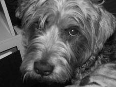 Dog profile for meeka, a female Glen of Imaal Terrier/Soft Coated ...