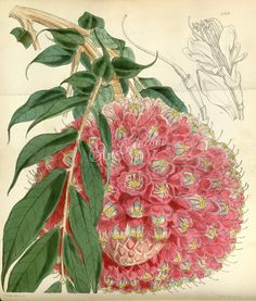 4839-brownea grandiceps, Cluster-flowered Brownea ...