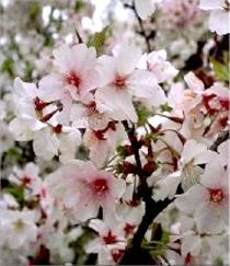 Prunus nipponica Brillant