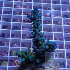"Acropora gomezi - Maricultured Gomezi Acro - 3"" WYSIWYG Colony"