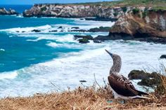 Isla de la Plata is a cheaper alternative to Galapagos, but this island off Ecuador's Pacific coast features some of the same species found in Galapagos. Positiv Turismo offers various tour options to Isla de la Plata (info@positivturismo.com).