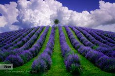 Lavender field ... by The-LightHunter #landscape #travel