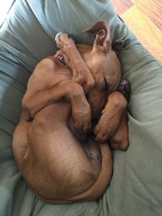 Rhodesian Ridgeback puppies are tiny masters of the Happy Baby pose … or should we call it the Sleepy Baby pose?