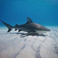Bull shark cruising the sandy bottom, Bahamas Photographed by| @timcalver