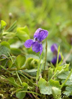 Plantes comestibles, médicinales - Fête de la… - un p'tit creux...?? - la bourrache… - la consoude… - la Phacélie à… - la grande Gentiane… - La primevère… - La violette (viola ) - Tussilage… - Les plantes et la… - Le blog de Sergio