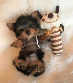 Yorkshire Terrier Puppies Are The Cutest Dogs In The World That Come From Yorkshire England Follow Us To Get Your Daily Dose Of Yorkie Love Perros Yorkie Perros Yorkshire Y Animales