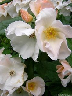 """'Sally Holmes '- zones 5-10, shade-tolerant, conitnual blooming, moderately fragrant, shrub. Large, tightly packed trusses of rich, ivory-white single 5"""" flowers (petals 8-12)with golden centers on a vigorous, continual blooming compact bush. `Sally Holmes' has proven to be one of the most outstanding shrub roses. It is now rated the second highest by the American Rose Society. A wonderful shrub rose that should be in the gardens of all those who love white roses. Over 60 blooms to a truss."""