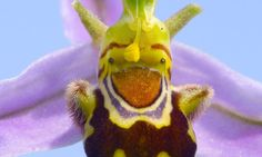The Shrek orchid: Rare flower looks exactly like green-skinned ogre #DailyMail