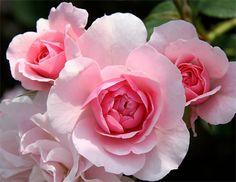 Best Roses for the Pacific Northwest - Heirloom Roses Bonica Rose, My Flower, Flower Power, Landscaping With Roses, Landscaping Ideas, Heirloom Roses, Shrub Roses, Planting Roses, Flowers