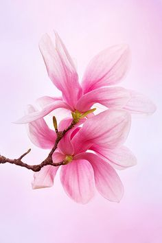 ~~Pretty in Pink ~ Saucer Magnolia blossom by Julie Kenward~~