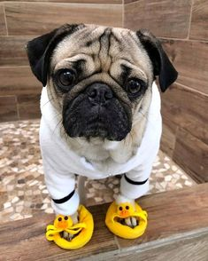 Pug Puppies for sale - Sweet Pugs Cute Funny Animals, Cute Baby Animals, Funny Dogs, Cute Baby Pugs, Jungle Animals, Pug Puppies For Sale, Cute Dogs And Puppies, Doggies, Baby Pugs For Sale