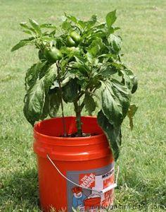 Gardening with 5 gallon buckets