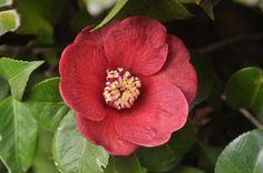 As rainhas do Inverno, as camélias (Camellia japonica) estão já em plena floração. As que surgem em maior número são provavelmente as variedades singelas, isto é com apenas um fiada de pétalas a rodear os órgãos reprodutores. Estas variedades são as que mais se assemelham às camélias silvestres, uma vez que mantêm a capacidade reprodutiva.