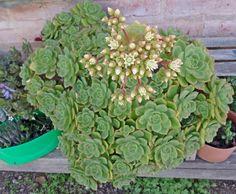 Aeonium haworthii en flor