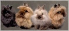 The cuteness.  I have to have one of these.  Lionhead rabbits.