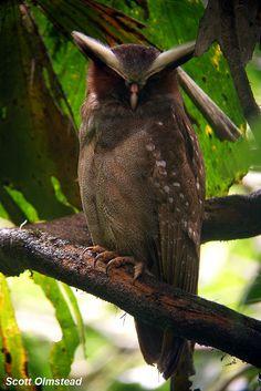 Crested Owl #BirdsofPrey #BirdofPrey #Bird of Prey #LIFECommunity