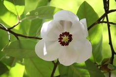Buy magnolia Magnolia wilsonii: Delivery by Crocus Garden Plants, Planting, Garden Landscaping, White Flowers, Magnolia, Garden Ideas, Landscapes, June, Delivery