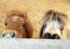 Hi there Tiny Horses, Cute Horses, Pretty Horses, Horse Love, Beautiful Horses, Animals Beautiful, Mini Pony, Animals And Pets, Funny Animals