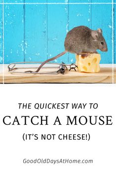 Got a Mouse? This is the BEST Mouse Traps Bait We've Found - Happy Unconventional Life Best Mouse Trap Bait, Mouse Trap Diy, Bucket Mouse Trap, Mouse Glue Trap, Mouse Trap Game, Mouse Traps That Work, Homemade Mouse Traps
