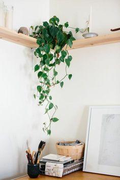 Money plant (Epipremnum Aureum) - TED