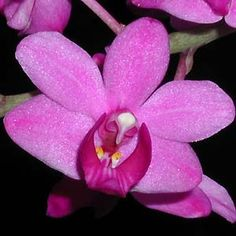 Phalaenopsis buyssoniana [Synonym: Doritis buyssoniana] - Found in Thailand and Vietnam as a robust, small-sized terrestrial.