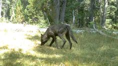 Gray Wolves Return To California For The First Time In 91 Years