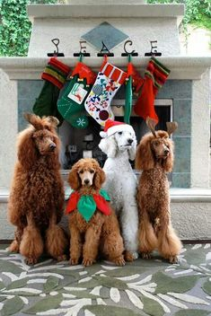 The Poodle Patch — Standard Poodles getting ready for the season!You can find Standard poodles and more on our website.The Poodle Patch — Standard Poodles getting ready . Noel Christmas, Christmas Animals, Christmas Cats, Poodle Cuts, Poodle Mix, Poodle Puppies, Pink Poodle, I Love Dogs, Cute Dogs