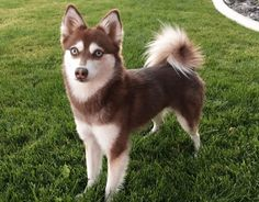 Wondering exactly what kind of dogs the Alaskan Klee Kai are like? Here you can virtually meet some of the Alaskan Klee Kai from across the world!