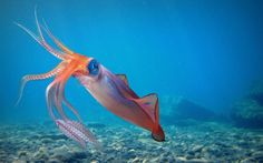Squid are members of the class Cephalopoda, subclass Coleoidea, order Teuthida, which has two major suborders, Myopsina and Oegopsina (including giant squid such as Architeuthis dux). Teuthida is the largest cephalopod order with around 300 species classified into 29 families.