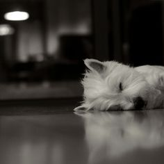 Westies are so adorable when they sleep / dog love West Highland Terrier, Animals And Pets, Baby Animals, Cute Animals, Westies, Cute Puppies, Dogs And Puppies, Doggies, Dog Cat