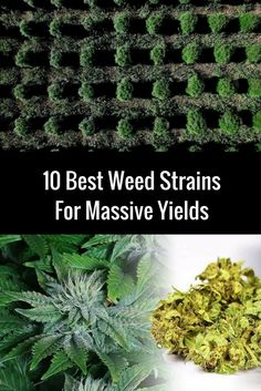 10 Best Weed Strains For Massive Yields