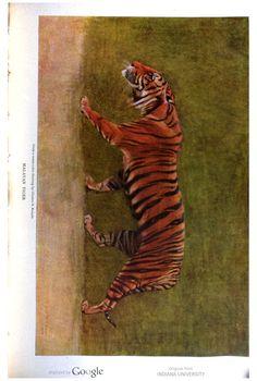 Tiger, The Century illustrated monthly magazine, Volume 67, 1903-04.