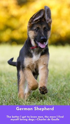 Check out the link for more information German Shepherds Click the link for more.