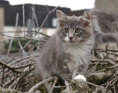 Titran's kittens June 2020 Cattery, Kittens, June, Pets, Animals, Animaux, Animales, Kitten, Kitty Cats
