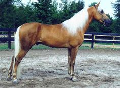 The American Walking Pony is about 14 hands high. It has a clean, smallish head on a well arched musled neck. The back is short, the shoulder slightly sloped, and the hips are well muscled. The American Walking pony is a combination of the Tennessee Walking Horse and the Welsh Pony.