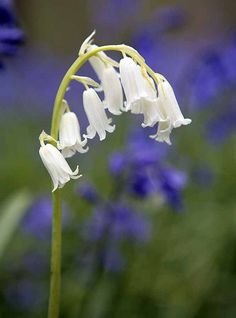 233 best bluebells images on pinterest beautiful flowers saw some in a local place white bluebells beautiful and delicate mightylinksfo