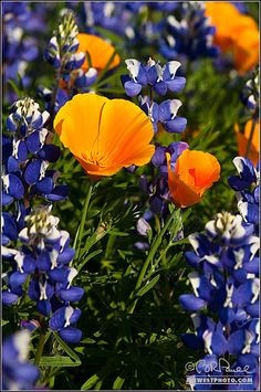 D-21058 California Poppies and Lupines ~ Brent Russell Paull - American West Photography ~ # flowers