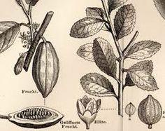 humulus lupulus botanical print - Google Search